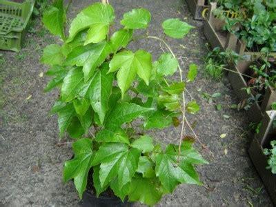 stauden für schattige plätze pflanzen f 252 r schattige pl 228 tze