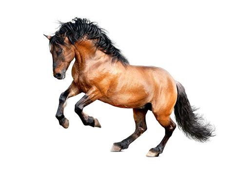 lusitano horse stallion galloping isolated breeds clydesdale animal smartest