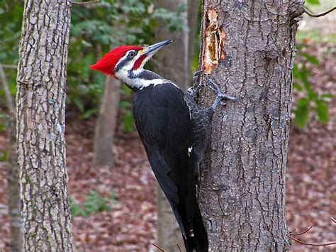 Woodpeckers | Who's Your Granny?
