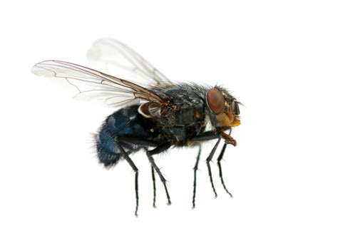 how does a house fly live how do house flies live ask mr