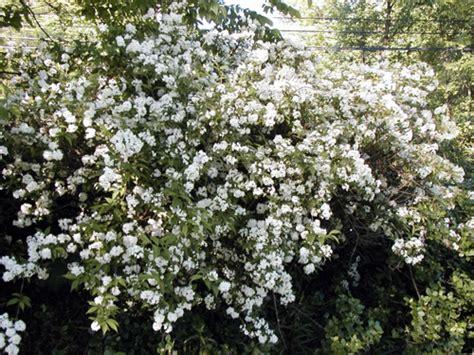Native Plants For Michigan Landscapes Part 2 Shrubs