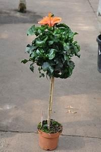 Hibiskus Stämmchen Kaufen : chinarose hibiskus st mmchen in orange von der palmenmann auf kaufen ~ Buech-reservation.com Haus und Dekorationen