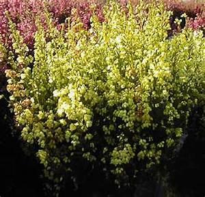 Bodendecker Gelb Blühend : glockenheide heidekraut bilder fotos erica gracilis bild mit infos ~ Frokenaadalensverden.com Haus und Dekorationen