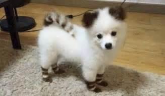 Do Pomsky Dogs Shed by Pomsky Half Pomeranian Half Husky Breeds Picture