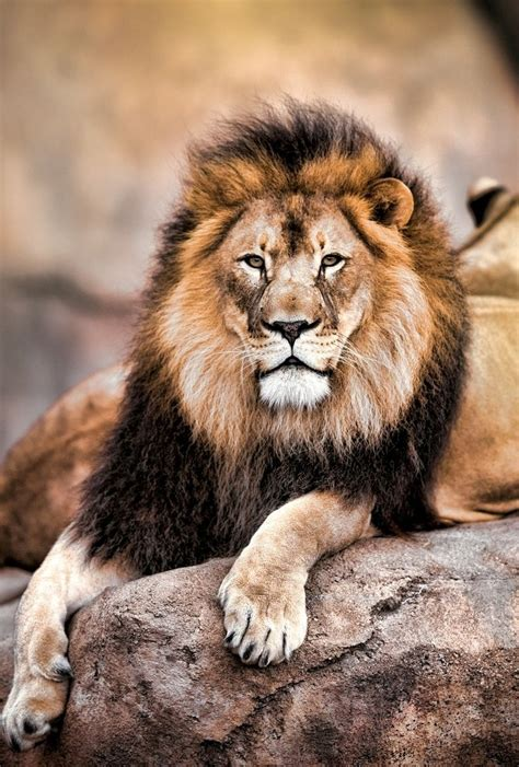 King Of The Jungle By Todd Ryburn Wild Animals