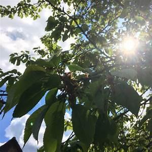 Was Ist Das Für Ein Baum : was ist das f r ein kirschbaum schule biologie baum ~ Watch28wear.com Haus und Dekorationen
