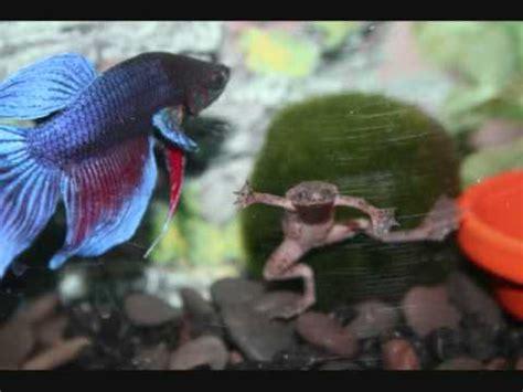 new betta tank plus an african dwarf frog youtube