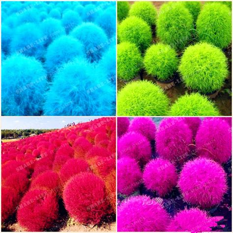 buy kochia scoparia grass online buy wholesale ornamental grass red from china ornamental grass red wholesalers