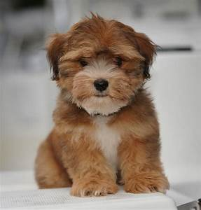 Our Havanese | Willow Springs Havanese and Labradors