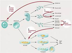 Nuclear Reprogramming in Cells | Science