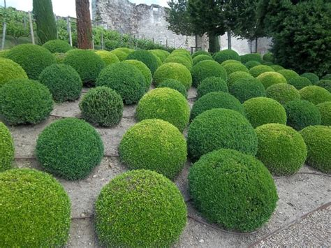 Topiary : Eugenia Or Myrtus Species