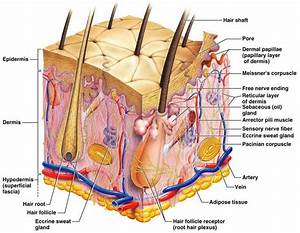 The integumentary system is part of the huan body system ...