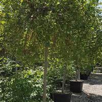 salix caprea kilmarnock weeping willow dwarf weeping tree