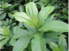Insulin Plant Medicinal plant for diabetes treatment