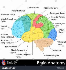 Easy Edit Vector Illustration Brain Anatomy Stock Vector
