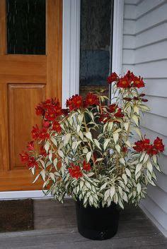 kate de rode verleiding pot alstroemeria colorita 174