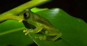 Nicaragua Giant Glass Frog Facts and Pictures | Amphibian Fact