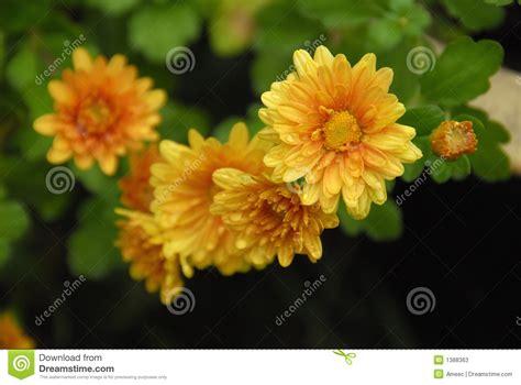 will mums bloom mums in bloom