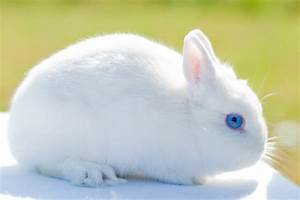 White Dwarf Rabbit Blue Eyes - Pics about space