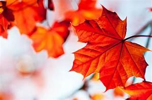 Roter Ahorn Baum : roter ahorn die merkmale im steckbrief format ~ Michelbontemps.com Haus und Dekorationen