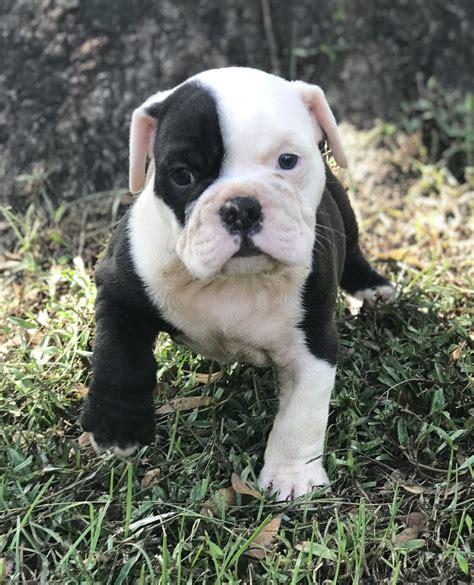 english bulldog puppies  sale ocala fl