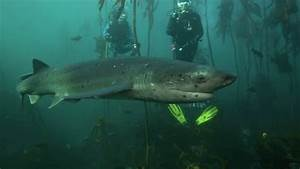 Seven Gill Cow Shark Swimming Through Kelp Forest In Cape ...