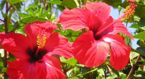 hibiscus semis entretien culture et arrosage