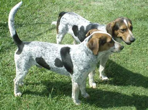 blue tick heeler shedding bluetick coonhound puppy gallery
