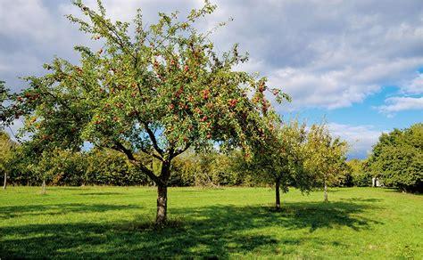 Obstbäume Pflanzen