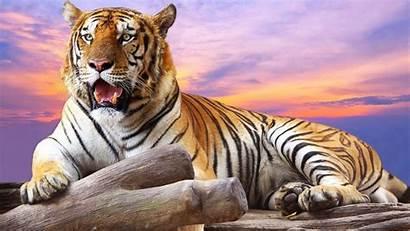 Tiger Wallpapers 3d Desktop