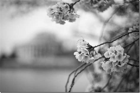 craig corl photography dc cherry blossomsblack  white