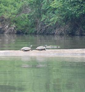 These Turtles Are Basking On A Log In Order To Warm Their