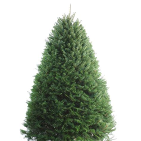 christmas trees lowes fresh shop 5 ft to 6 ft fresh cut douglas fir tree at lowes