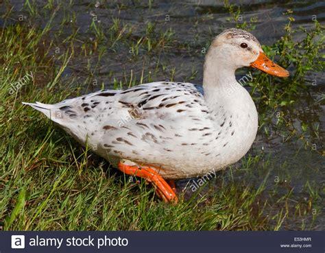 Albino Mallard Duck (anas Platyrhynchos), Lake Idro