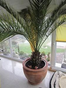 Kanarische Dattelpalme Kaufen : pflanzen b ume str ucher pflanzen garten halle ~ Lizthompson.info Haus und Dekorationen