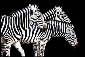 Schwarz Weiß Bilder Tiere : zebra zebra schwarz wei tiere view fotocommunity ~ Markanthonyermac.com Haus und Dekorationen