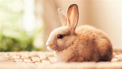 Rabbit 1080p Wallpapers Laptop Fofo 4k Coelhinho