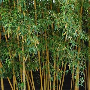 Bambou A Planter : bambou moyen phyllostachys aurea 39 holochrysa 39 plantes ~ Premium-room.com Idées de Décoration