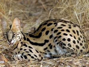 Serval wallpapers and images - wallpapers, pictures, photos