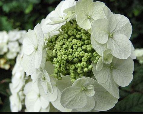 hydrangeas white flowers very close up pic of flowers hydrangeas in white jpg