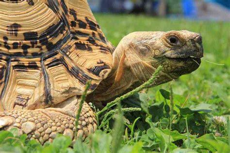 tartaruga terrestre alimentazione tartarughe ecco cosa fare e cosa evitare quando si
