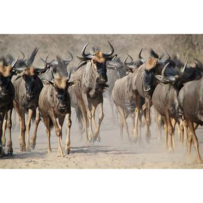 Africa's Great Migration of Wildebeests Will Be Streamed