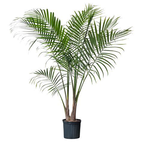 ravenea potted plant majesty palm palm plants plants and spaces