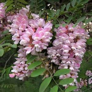 robinia pseudoacacia hillieri tree pink acacia tree