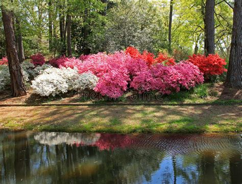 callaway gardens pine mountain ga azaleas at callaway gardens stock photo image of flower