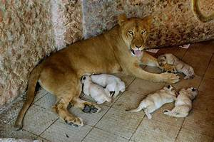 Lioness Gives Birth To Quintuplets In Pakistani Home