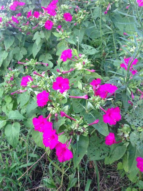 night blooming edible chocolate flower berlandiera very fragrant 4 pot blooming flowers hgtv