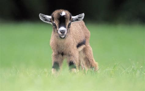 Baby Animals Wallpapers Free - baby goat wallpapers baby animals