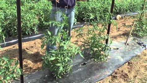 grow tomatoes trellis youtube