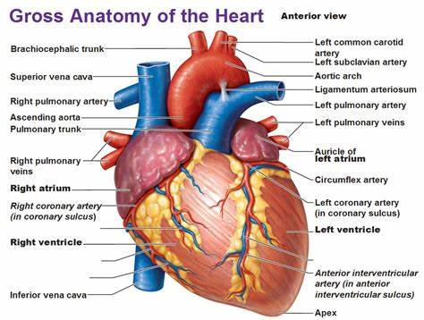 Blood travels from the heart in arteries, which branch into smaller and smaller vessels, eventually becoming arterioles. Intro to the Heart